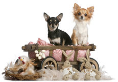 Chihuahuas, 14 months old, sitting in dog bed Royalty Free Stock Image