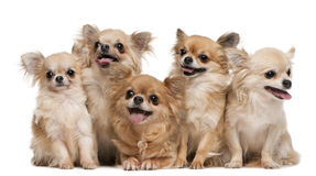 Chihuahuas, 14 years old, 11 years old, 5 years
