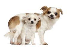 Chihuahuas, 15 maanden oud en puppy Stock Fotografie