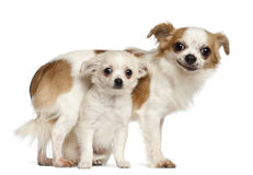 Chihuahuas, 15 months old and puppy Stock Photography