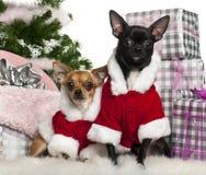 Chihuahuas, 18 meses y 1 año Fotografía de archivo
