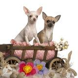 Chihuahuas, Royalty Free Stock Photos