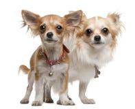 Chihuahuas, 2 anos velhas, 5 meses velho, posição Imagem de Stock