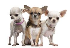 Chihuahuas, 2 anos velhas, posição Imagem de Stock Royalty Free