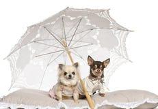 Chihuahuas, 2 gammala år och 4 gammala år och att sitta Royaltyfri Bild