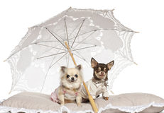 Chihuahuas, 2 years old and 4 years old, sitting Royalty Free Stock Image