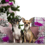 Chihuahuas, 2 years old, with Christmas tree Stock Photography