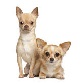 Chihuahuas, 2 years old, sitting Stock Image