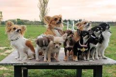 Chihuahuas Fotos de archivo