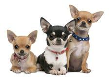Chihuahuas, 3 jaar oud, 2 jaar oud, 3 maanden stock foto
