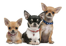 Chihuahuas, 3 years old, 2 years old, 3 months Stock Photo