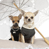 Chihuahuas, 3 years old, sitting under parasol Stock Images