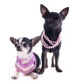 Chihuahuas royaltyfria bilder
