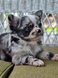 Chihuahuas 23 Imagens de Stock