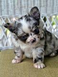 Chihuahuas 26 Fotografia de Stock