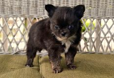 Chihuahuas 28 Foto de Stock Royalty Free