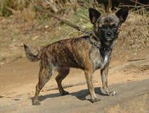 chihuahuas Fotos de Stock