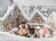 chihuahuas Στοκ εικόνες με δικαίωμα ελεύθερης χρήσης