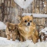 chihuahuas Royaltyfri Fotografi