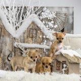 chihuahuas Fotografía de archivo