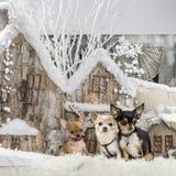 chihuahuas Στοκ Εικόνα