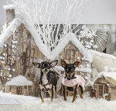 chihuahuas Στοκ φωτογραφία με δικαίωμα ελεύθερης χρήσης