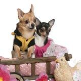 Chihuahuas, 5 anos velhos e 3 anos velho Fotografia de Stock