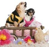 Chihuahuas, 5 anos velhos e 3 anos velho, vestido Imagens de Stock