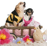 Chihuahuas, 5 years old and 3 years old, dressed Stock Images