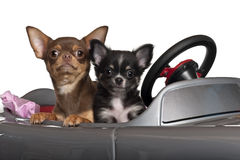 Chihuahuas, 7 and 3 months old, sitting Royalty Free Stock Image