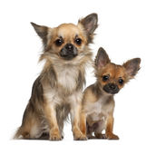 Chihuahuas, 8 months old Royalty Free Stock Image