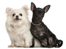 Chihuahuas, 8  years old and 7 months old Stock Image