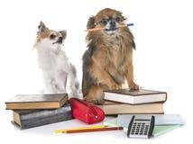 Chihuahuas aan school royalty-vrije stock afbeelding