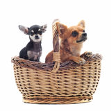 Chihuahuas in a basket Stock Photos
