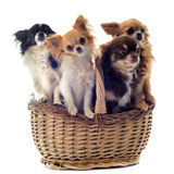 Chihuahuas in basket Royalty Free Stock Images