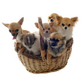 Chihuahuas in basket Stock Photo