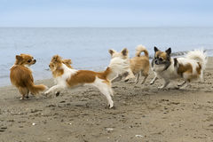 Chihuahuas on the beach. Four chihuahuas running on the beach in summer Royalty Free Stock Photos