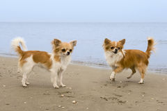 Chihuahuas on the beach stock image