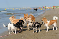 Chihuahuas on the beach Stock Photo