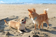 Chihuahuas on the beach Royalty Free Stock Images