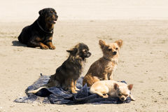 Chihuahuas on the beach Royalty Free Stock Photo