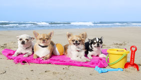 Chihuahuas on the beach Stock Photography