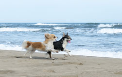 Chihuahuas on the beach Royalty Free Stock Image