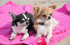 Chihuahuas on the beach. Portrait of a cute purebred  chihuahuas on the beach Royalty Free Stock Photography