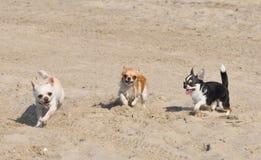 Chihuahuas on the beach Stock Photo