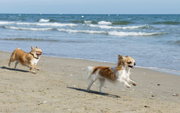Chihuahuas on the beach Royalty Free Stock Photos