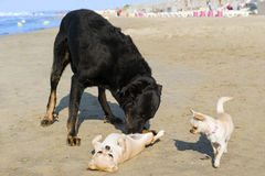 Chihuahuas and beauceron on the beach Stock Image