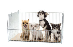 Chihuahuas in cage Stock Photo