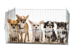 Chihuahuas in cage Stock Photos