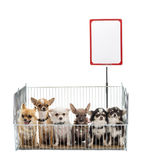 Chihuahuas in cage Royalty Free Stock Photos